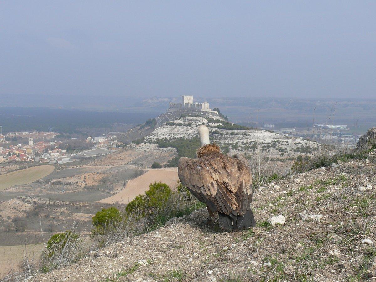 Ejemplar de buitre leonado junto al Castillo de Peñafiel. Foto cedida por José Onrubia.