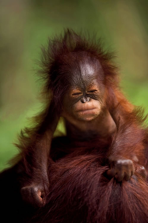 Bebé de Borneo (Reino Unido) Autor Brian Matthews