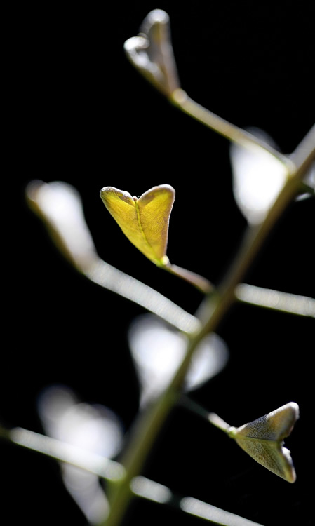 Flora Humillis en Madrid: Capsella bursa-pastoris