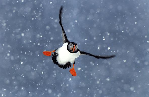 Frailecillo en la nieve (Países Bajos) Autor Jan Vemeer