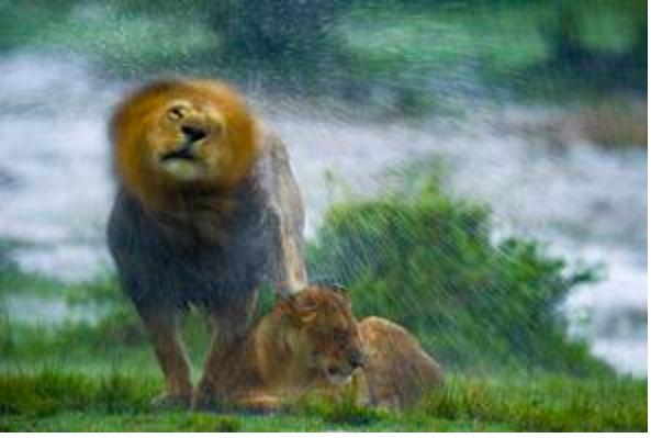 Leones que se aman bajo la lluvia. Fotografos de naturaleza 2015