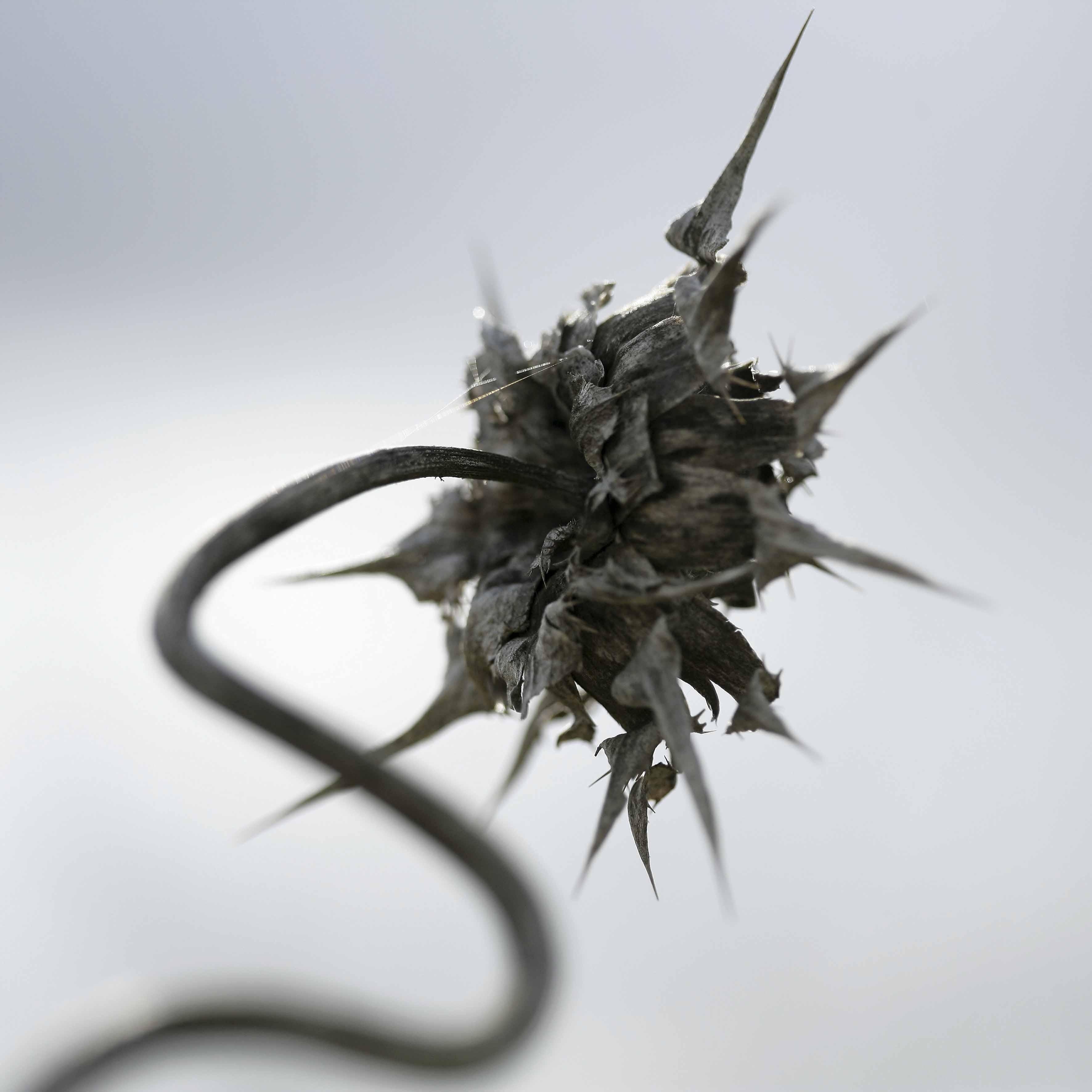 Sylibum marianum (cardo mariano). Exposición