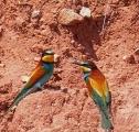 aves abejaruco