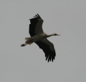 aves-cigüeña